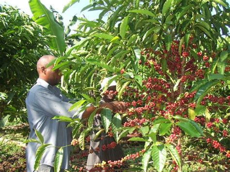 pohon kopi uganda coffee production and exports seen flat on year