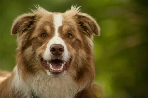 border collie colors everything you need to about border collie colors and