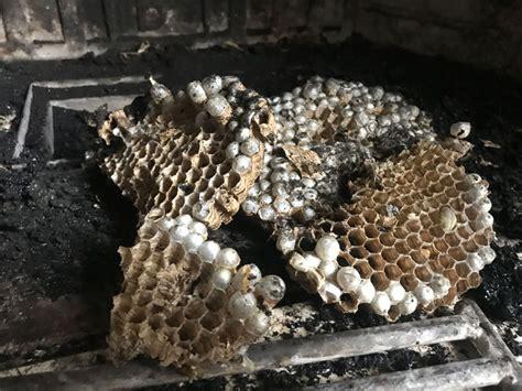 calabroni nel camino nidi di calabroni una vera minaccia spazzacamino net