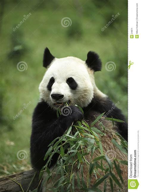 panda alimentazione panda gigante immagine stock immagine di alimentazione