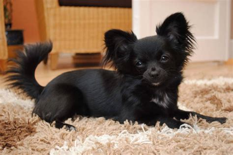 long hair chihuahua haircut black chihuahua dog get new haircut golfian com