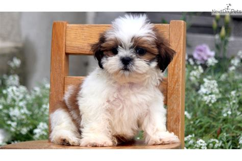 shih tzu paws paws shih tzu puppy for sale near lancaster pennsylvania e38fd13e 8ce1
