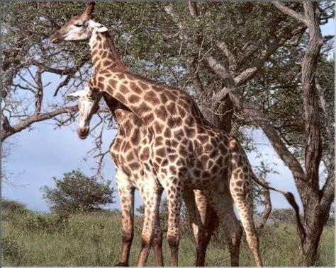imagenes reales de jirafas fotos de jirafas esos esbeltos animales