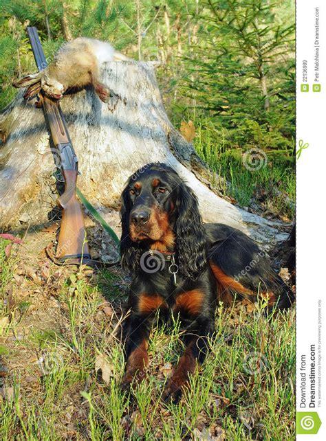 gordon setter gun dog gordonsetter hunting dog royalty free stock images image
