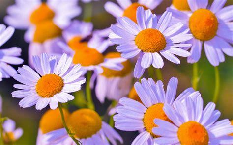 imagenes flores en hd fondo de pantalla margaritas flores petalos hd