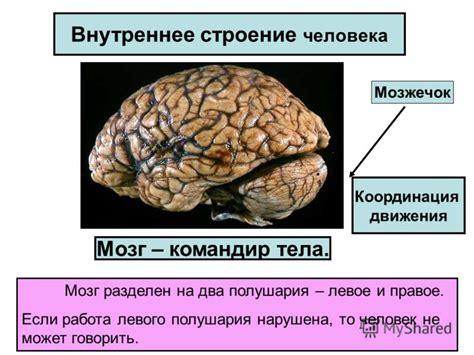 Строение левого полушария головного мозга схема