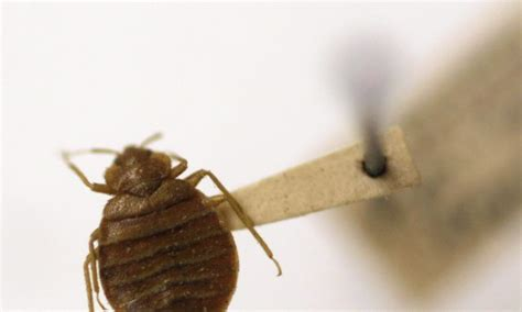 what are bed bugs attracted to bed bug attracted to light decoratingspecial com