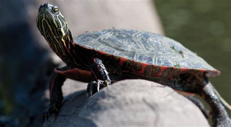 lada per tartarughe d acqua tartarughe d acqua