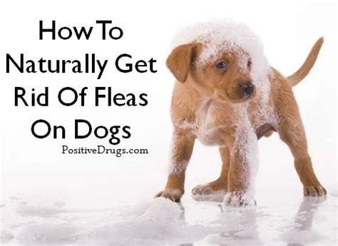 how to get rid of fleas on a puppy how to naturally get rid of fleas on dogs positivedrugs positivedrugs