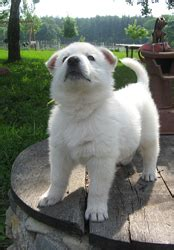 all white german shepherd puppies for sale all white german shepherd puppies for sale dogs our friends photo