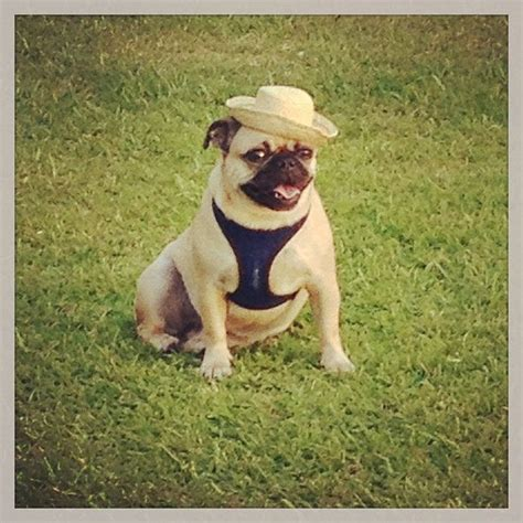 farm pugs 66 best images about pugs in hats on birthday wishes a diary and pug