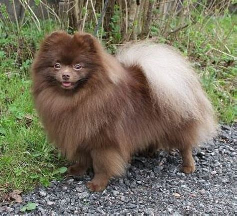 pomeranian chocolate pomeranian pictures photos and images photo gallery of breeds picture