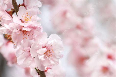 sfondi fiori di pesco fiori di pesco foto stock 169 kizil24 9376966