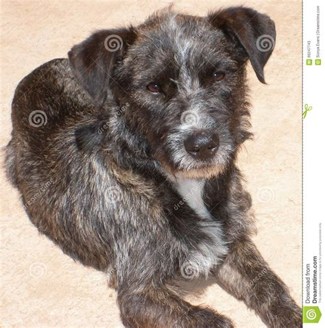 pics of long hair dark browm terriers brown grey and white wire haired terrier face on stock