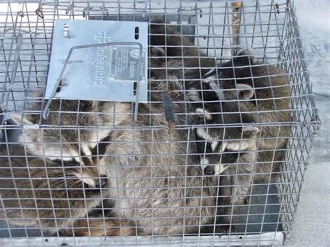 how to get rid of raccoons in my backyard get rid of raccoons 171 trapper tails