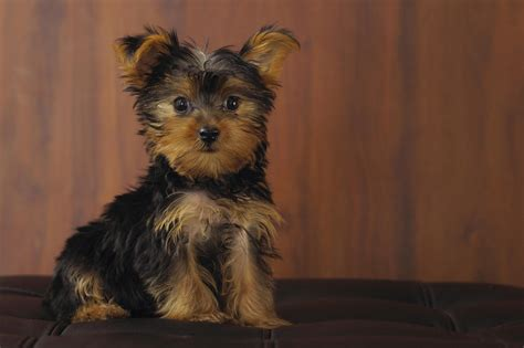 yorkie wallpaper for walls 18 hd yorkshire terrier dog wallpapers hdwallsource com