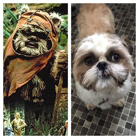 shih tzu ewok haircuts ewok vs thor the shih tzu so alike random pinterest