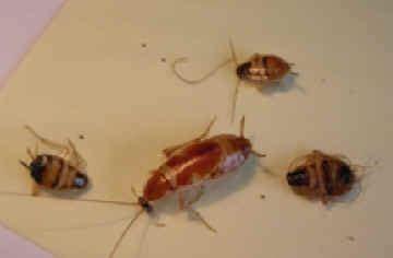 scarafaggi volanti in casa emergenza scarafaggi a salerno