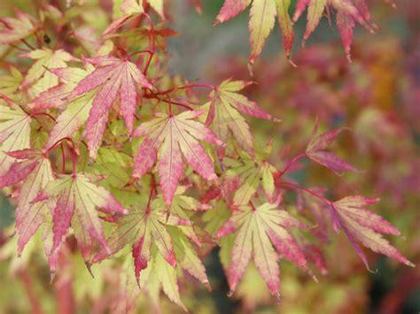 Roter Fächer Ahorn 1644 by Rhododendrongarten Die Sch 246 Nsten Begleit Pflanzen Mein