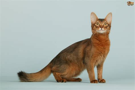 For Cats by Somali Cat Breed Information Buying Advice Photos And