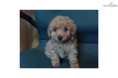 Poodle, Toy for sale for $500, near Winston salem, North