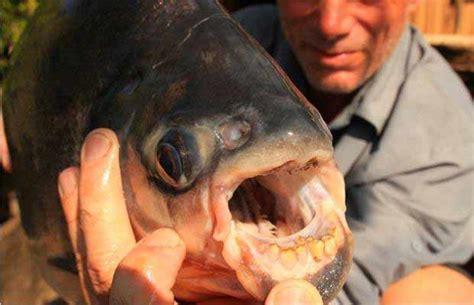 testicoli diversi svezia trovato pesce piranha quot taglia testicoli quot globus