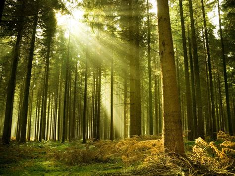 does harmon do woodworking forest tree sun light spruce 1440 215 1920 harmonia