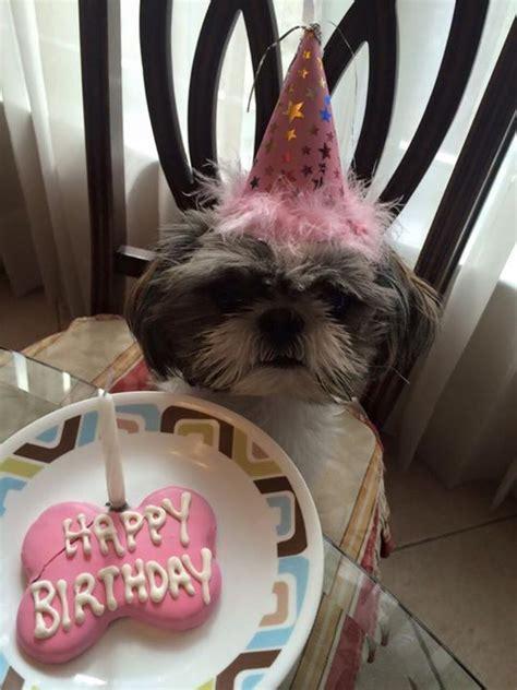 happy birthday shih tzu 25 best ideas about happy birthday puppy on happy birthday
