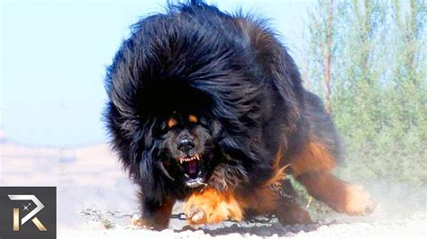 10 most dangerous dogs 10 most dangerous dogs in the world