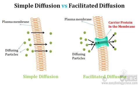 2 proteins in facilitated diffusion difference between simple and facilitated diffusion