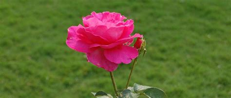 How To Grow Roses Rose Flower Gardening How To Garden Flowers
