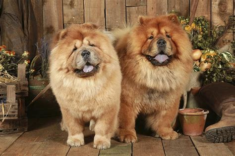 chow breed chow chow breed profile