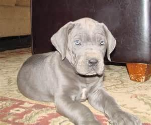 Great Dane Breeders Blue Great Danes For Sale In Kentucky Blue Great Dane