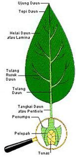 bagian tumbuhan  fungsinya