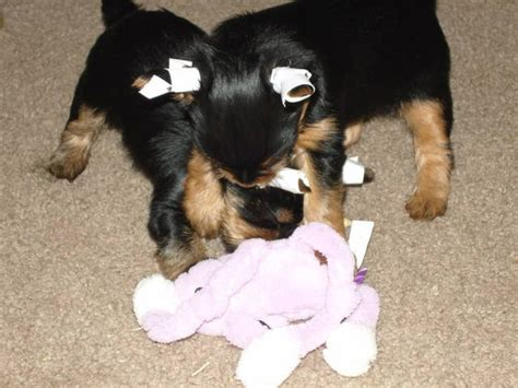 yorkie puppies for sale in kansas purebred yorkie quotes