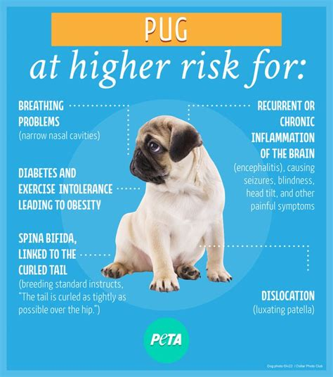 pug puppies health problems pug problems 28 images pug eye problems cleaning treatment of conditions