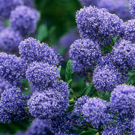 Variegated Foliage Plants - buy ceonothus puget blue j parker dutch bulbs