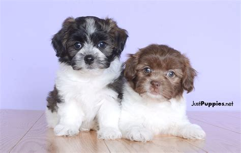 shih tzu puppies for sale in orlando fl puppies for sale orlando fl justpuppies net