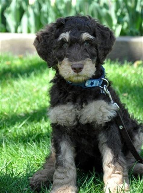 labradoodle puppies price arborgate labradoodles premium labradoodle breeder