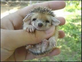 cute hedgehogs images amp pictures becuo