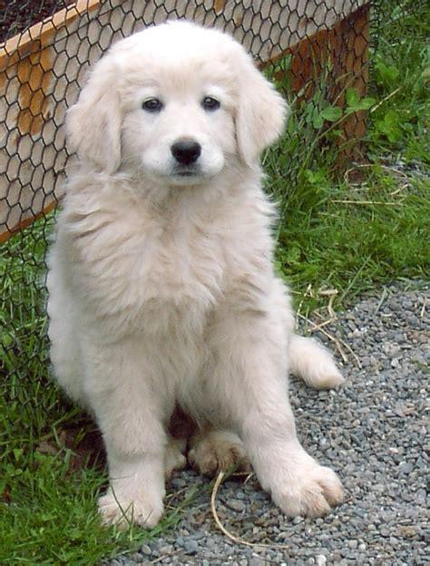 maremma puppy maremma puppy louie dogs
