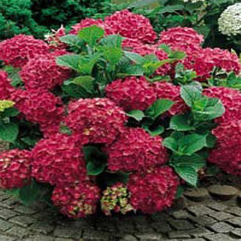onlineplantcenter 1 gal merritt supreme hydrangea shrub