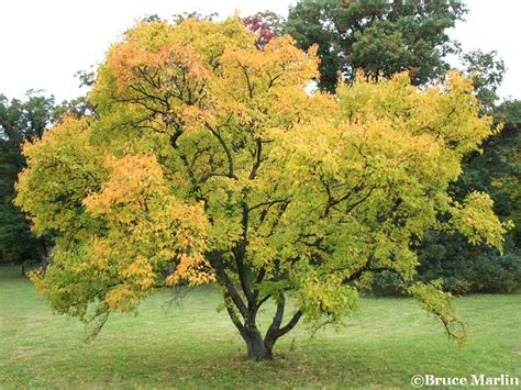 maple tree lifespan durand amur maple acer ginnala american insects spiders