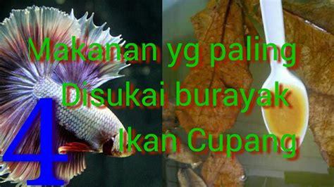 Pakan Untuk Burayak Ikan 4 makanan burayak ikan cupang terbaik umur 0 30 hari