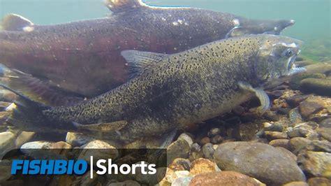 Fish Bio fishbio shorts trout waiting for salmon eggs fishbio moldy chum