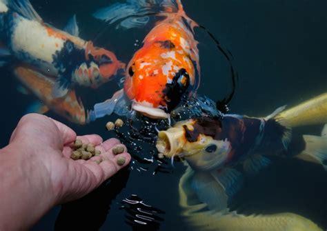 Pakan Ikan Hias Bagus cara memelihara ikan hias di akuarium bibitbunga