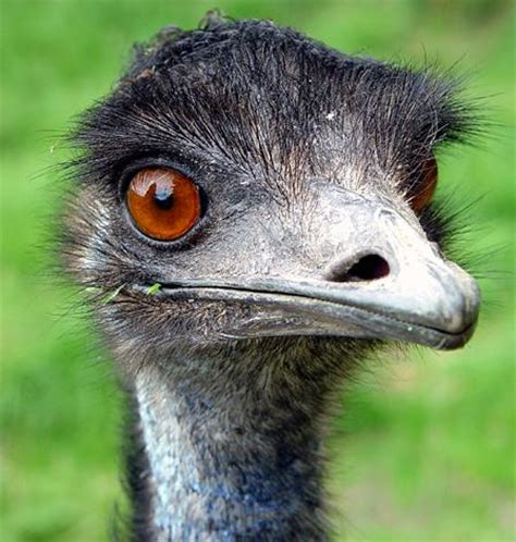 エミュー オーストラリアに生息しエメラルドグリーンの宝石卵から生まれる鳥 犬 猫 動物情報サイト 動物いいね