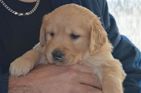 golden retriever x beautiful labrador x golden retriever puppies ashford kent pets4homes