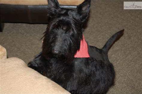 akc scottish terrier puppies for sale akc scottish terrier black females breeds picture