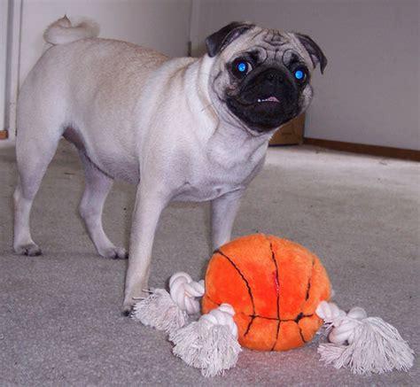 pug basketball my new present january madness baketball with pug of war ropes the